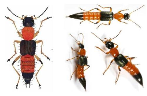 Kiến ba khoang  có màu là các khoang đen - vàng cam xen kẽ, có thân mình thon, dài như hạt thóc, dài 1 - 1,2cm, ngang 2 - 3mm; kiến có 3 đôi chân, 2 đôi cánh. Ảnh: cdc