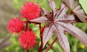 Các cây hoa độc không nên trồng trong khuôn viên nhà, trường học