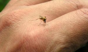 Giải mã tại sao bạn bị muỗi đốt nhiều hơn người khác