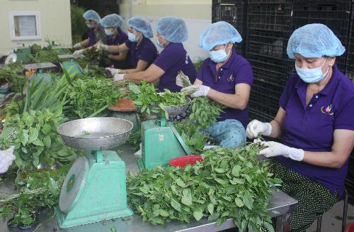 Công nhân sơ chế rau tại một hợp tác xã ở Bến Lức, Long An. Ảnh: Lê Phương.