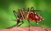 Muỗi vằn truyền bệnh sốt xuất huyết dày đặc tại Hà Nội