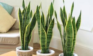 7 loại cây cảnh mang năng lượng tích cực khi trồng trong nhà