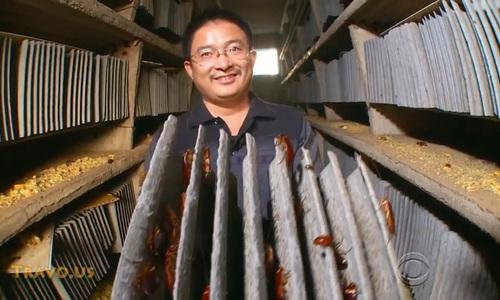 Trung Quốc nuôi 6 tỷ con gián làm dược liệu trị đau dạ dày