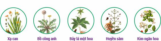 Những thảo dược có tác dụng long đờm thường được dân gian sử dụng.