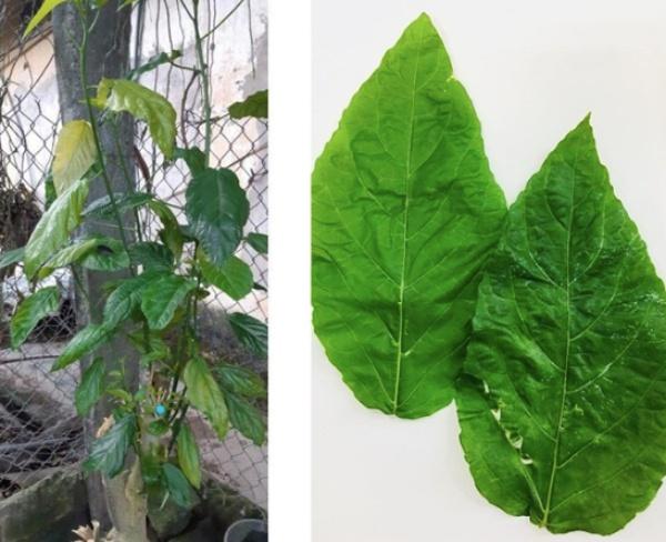 Hình ảnh lá và cây lộc mại gia đình bệnh nhi cung cấp.