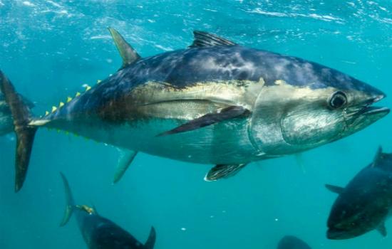 Cần tiến hành kiểm tra phản ứng dị ứng trên da hoặc xét nghiệm máu để đảm bảo tình trạng không bị dị ứng cá ngừ trước khi ăn. Ảnh: NFF