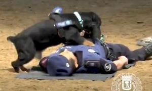 Chú chó cảnh sát biết hồi sức tim phổi được vinh danh anh hùng