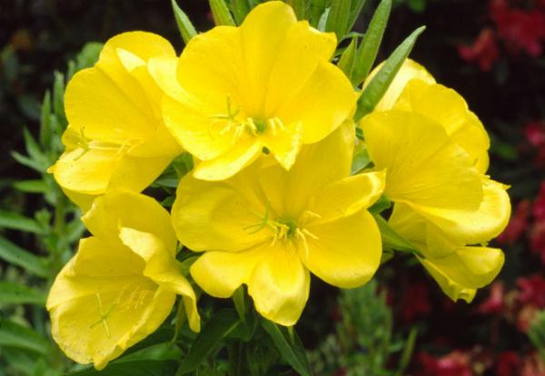 Hoa anh thảo được phụ nữ Bắc Mỹ sử dụng để làm đẹp.