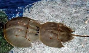 Phân biệt so biển và sam biển tránh ăn nhầm chết người