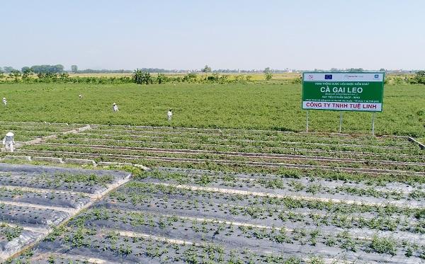 Một vùng trồng Cà gai leo sạch đạt tiêu chuẩn GACP-WHO tại Mỹ Thành, Mỹ Đức, Hà Nội.