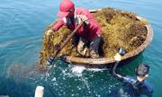 Công dụng chữa bệnh của hợp chất Fucoidan trong rong biển nâu