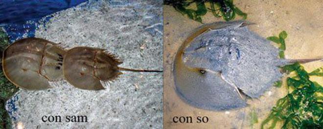 Nhiều người dễ nhầm lần giữa con sam và con so biển, trong khi so biển có độc tố có thể gây tử vong.