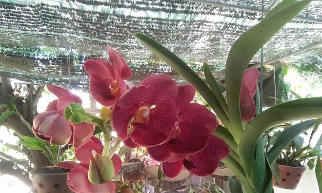 Những giò phong lan khoe sắc trong vườn nhà anh Đồng. Ảnh: L.P
