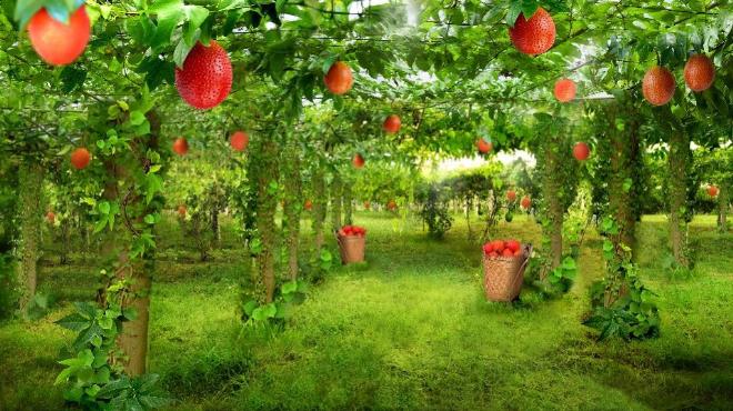 Gấc là loại quả phổ biến ở Đông Nam Á , có chứa hàm lượng lycopen cao hơn cà chua. Xin nguồn ảnh.