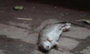Người thứ hai trên thế giới nhiễm viêm gan E từ chuột