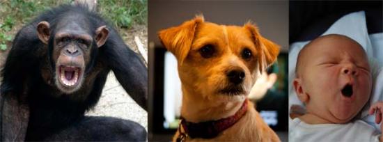 Ngáp dễ lây lan ở con người, tinh tinh và chó. Ảnh: SAB