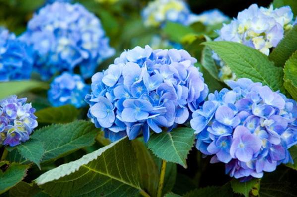 Small pollen grains scattered by hydrangeas will cause allergic skin allergies.