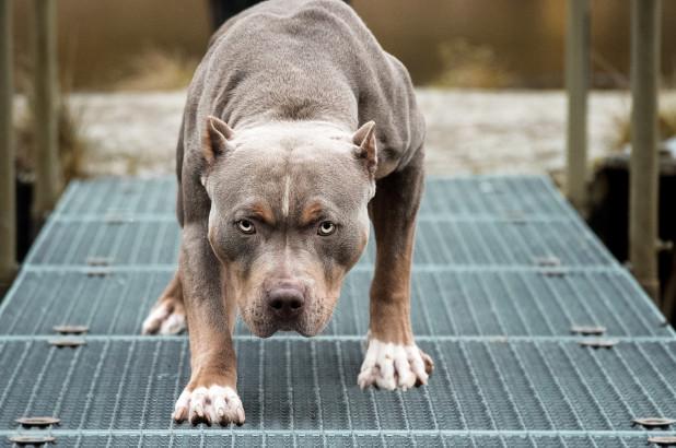 Chó Pit Bul thường được huấn luyện để đi săn. Ảnh: Nypost