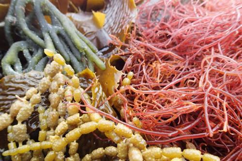 Từ lâu, rong nâu đã xuất hiện trong văn hóa ẩm thực của người Nhật Bản.