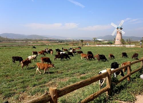 Những cô bò hữu cơtại Trang trại Vinamilk Organic Đà Lạt.