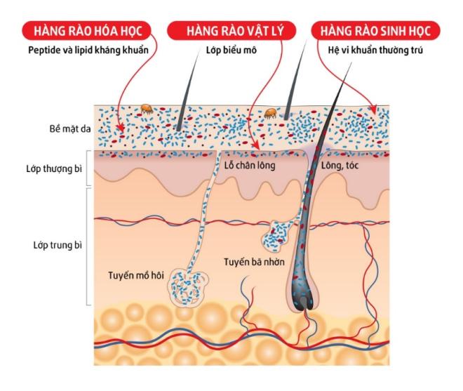 Cấu trúc các lớp hàng rào trong đề kháng của da.