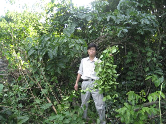 Phó giáo sư, tiến sĩTrần Văn Ơn tìm thấy dây thìa canh lá to.