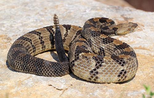 Rắn đuôi chuông gỗ là một trong những loài rắn độc nhất thế giới. Ảnh: Kansas Herpetofauna Atlas.