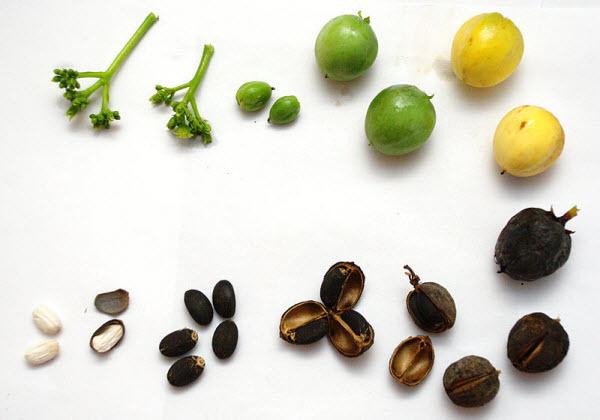 Hạt dầu mè có độc tính, phải thận trọng khi dùng.