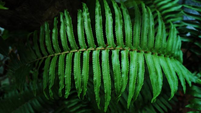 Tác dụng chống nắng từ cây dương xỉ