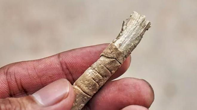 Chà trực tiếp phần lông của nhánh cây arak lên răng mà không cần dùng nước để vệ sinh răng miệng.
