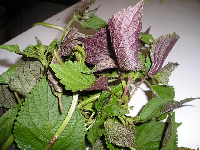 Tía tô không chỉ là cây gia vị mà còn là cây thuốc nam quý.