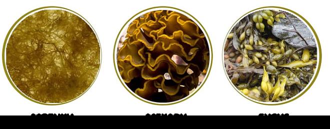 3 loại rong nâu giàu hoạt chất Fucoidan.