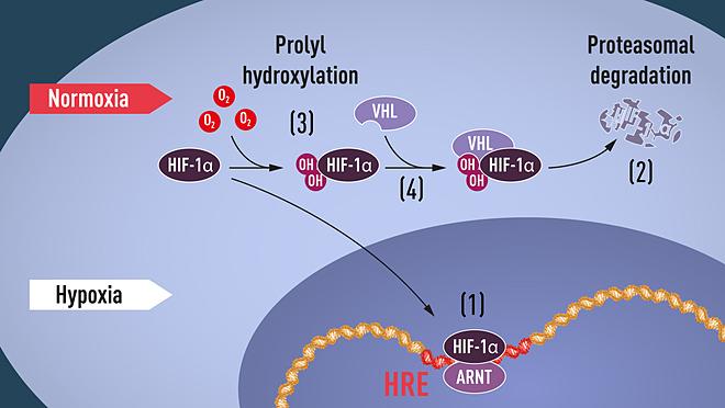 Hình ảnh cho thấy, khi nồn độ oxy thấp ((hypoxia),(1) HIF-1α ko bị phân biến, chúngliên kết với protein ARNT gắn vào đoạn ADN trên gene. (2) Ở mức độ oxy bình thường, HIF-1α nhanh chóng phân biến (3) Sự hiện diện của oxy trong tế bào điều chỉnh quá trình phân biến bằng nhóm hydroxit trên HIF-1α. (4) VHL nhận thấy nhóm OH gắn kết và đánh dấu cho cơ chế proteasome.