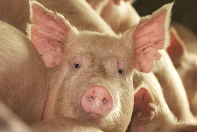 Da lợn biến đổi gene dễ dàng tương thích với hệ thống miễn dịch của bệnh nhân bỏng. Ảnh: New Atlas