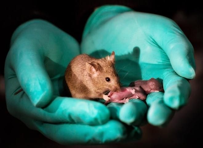 Phôi nhân tạo ở chuột vẫn có những dị tật và cần được nghiên cứu thêm. Ảnh: Statnews