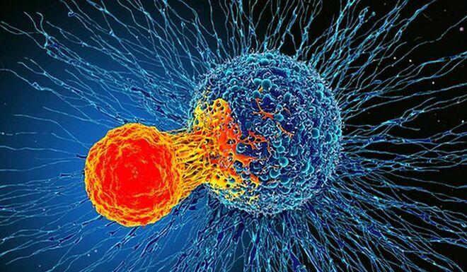 Tế bào T tấn công tế bào ung thư. Ảnh: Science Photo Library