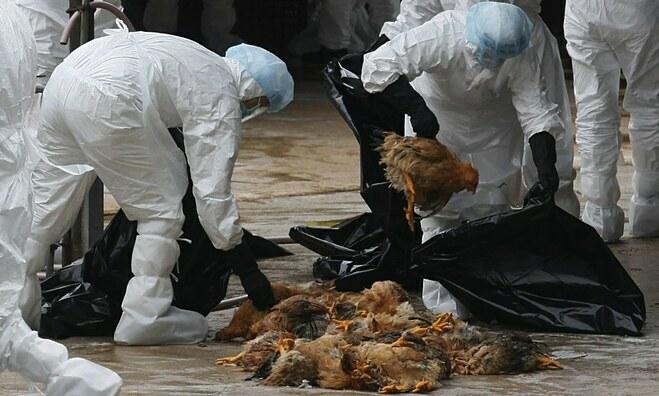 Cúm gia cầm H5N1 chưa ghi nhận trường hợp nào lây từ người sang người. Ảnh: Daily Mail