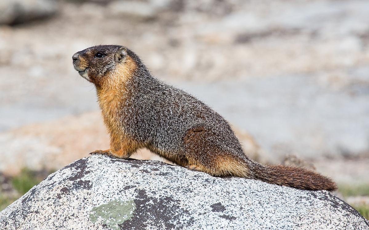 Sóc đất bị nghi ngờ là vât chủ trung gian truyền bệnh dịch hạch tại Trung Quốc. Ảnh: Yosemite National Park