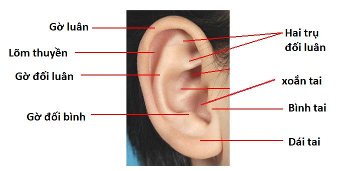 Các phần của vành tai. Ảnh: Youmed.