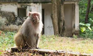 Khỉ vàng để thử vaccine được nuôi như thế nào?