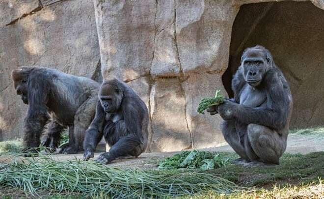 Ca con khi đột trong Vườn thú San Diego Safari đươc xét nghiệm nCoV, ngày 10/1. Ảnh: Reuters