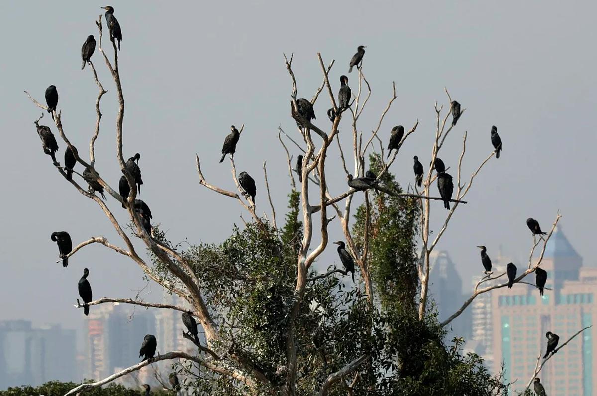Các loại chim ở Mai Po ùng ngập nước lớn nhất còn lại ở phía tây bắc Hong Kong
