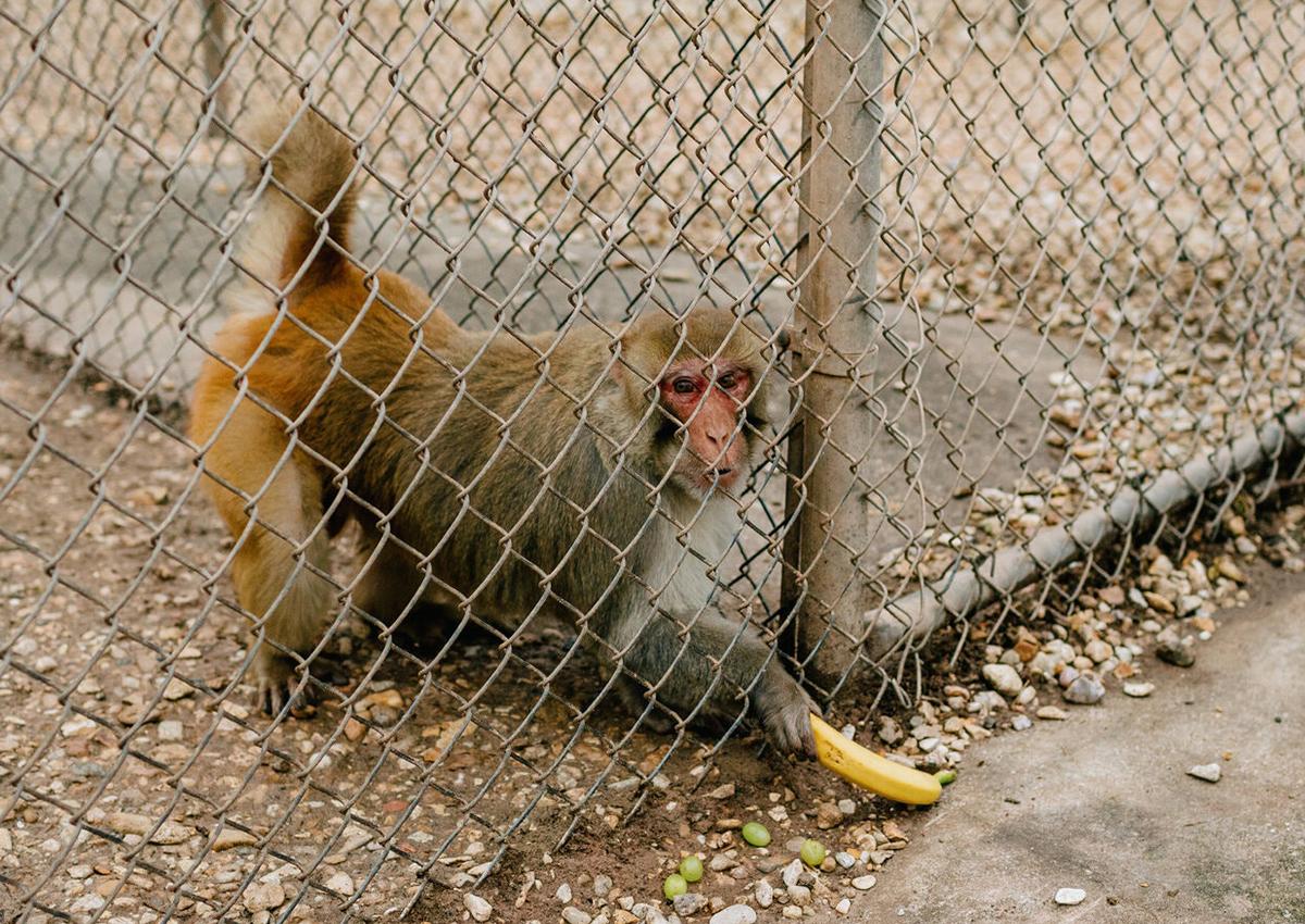 Hoa Kỳ có khoảng 22.000 con khỉ trong phòng thí nghiệm. Hầu hết là khỉ mặt đỏ, giống như ở Tulane.