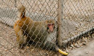 Mỹ thiếu khỉ thử nghiệm vaccine Covid-19