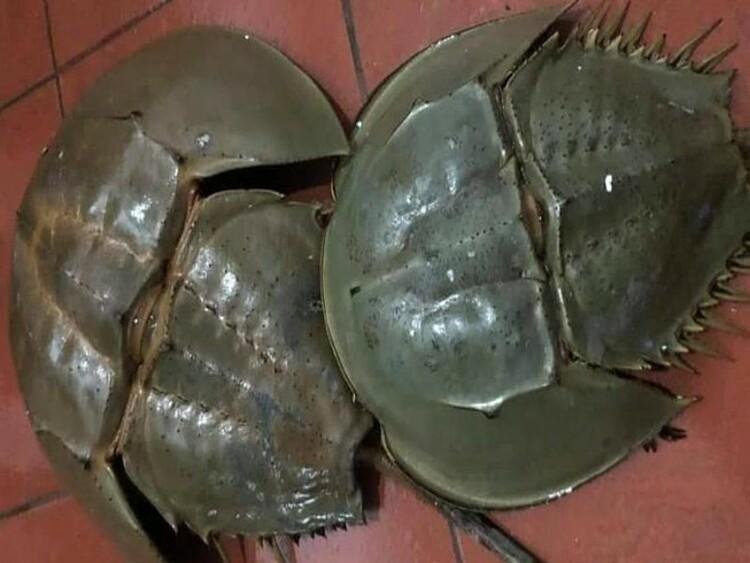 Con sam biển. Ảnh: Bệnh viện cung cấp
