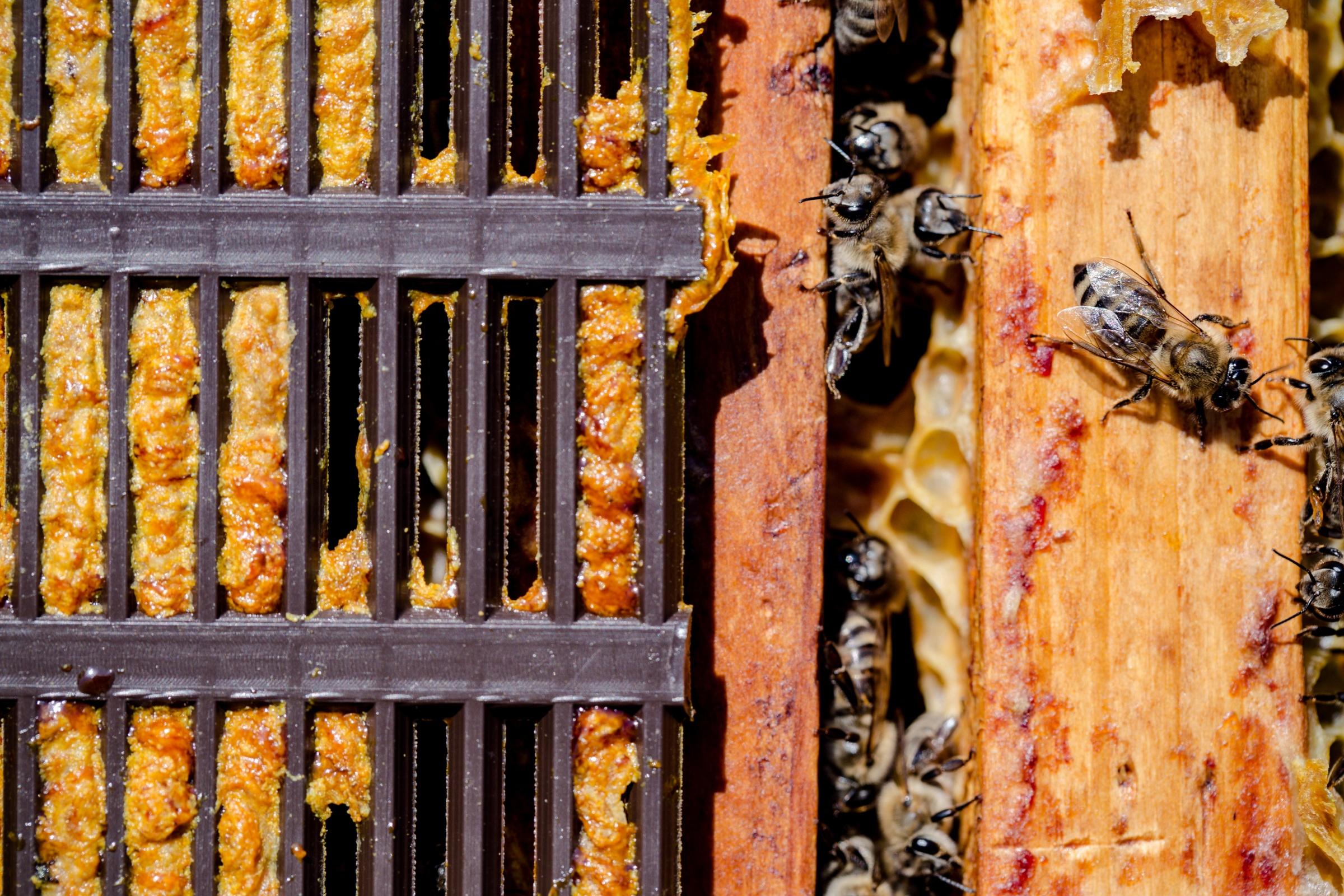 Ong dùng keo ong bịt kín tổ, bảo vệ mật.