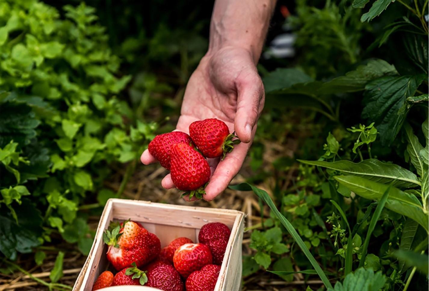 Nguyên liệu của Gerber tươi ngon nhờ được thu hoạch đúng vụ mùa và bảo quản kỹ lưỡng.