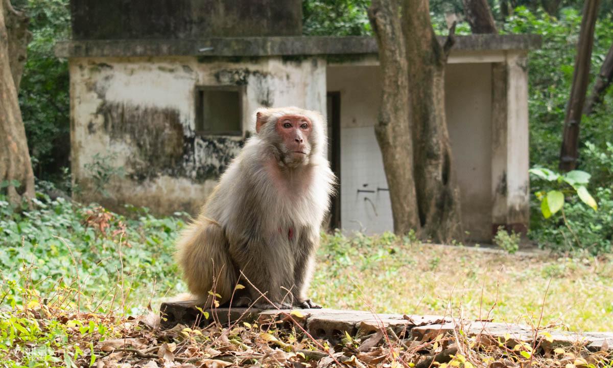 Giống khỉ vàng để thử nghiệm vaccine và nghiên cứu y học tại Quảng Ninh. Ảnh: Chi Lê.
